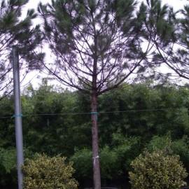 Pinus Pinea – Pin parasol