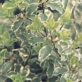 Pittosporum Tenuifolium Silver Green
