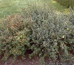 Potentille Fruticosa Arbuscula – Potentille arbustive