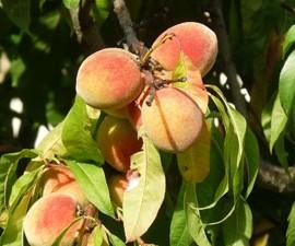 Prunus Persica Pêche de vigne – Pêchers jaune de vigne