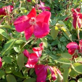 Rosa Chinensis Sanguinea – Rosiers
