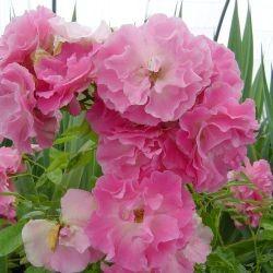 Rosa Banksiae – Rosea Bank's rose