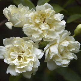 Rosa Banksiae alba – Rosier Bank's blanc
