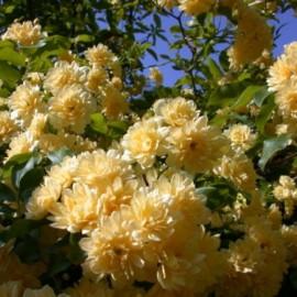 Rosa Banksiae Lutea Plena – Rosier bank's jaune