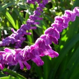 Salvia Leucantha – Sauge violet et blanc