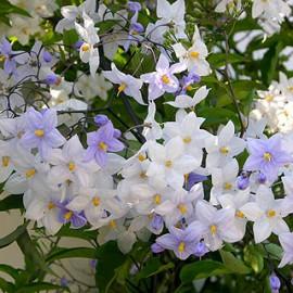 Solanum jasminoides bleu – Solanum blanc-bleu