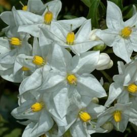 Solanum jasminoides Album – Solanum blanc