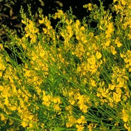 Spartium Junceum – Genêt d'Espagne