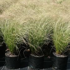 Carex comans Green