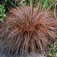Carex comans Red