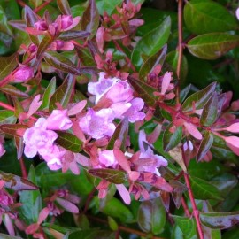 Abelia « Edward Goucher »