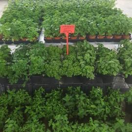 Plantation potagère