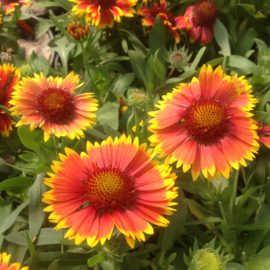 Gaillarda Grandiflora Arizona Sun