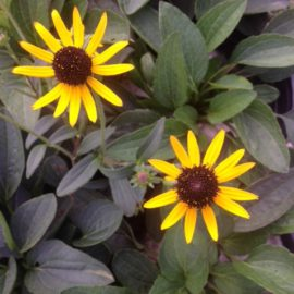 Rudbeckia Fulgida Little Gold Star