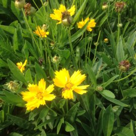 Coreopsis Grand. Early Sunrise