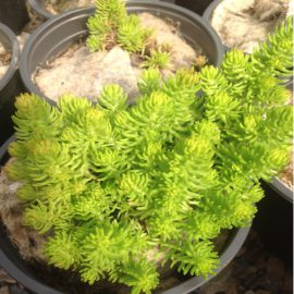 Sedum Winter Green